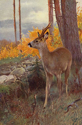 Hunters Drawing - Roe Deer by Wilhelm Kuhnert