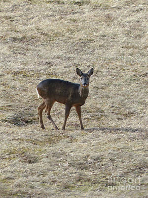 Photograph - Roe Doe In March by Phil Banks