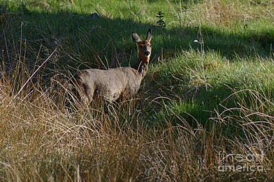 Photograph - Roe Doe  by Phil Banks