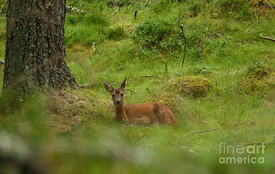 Photograph - Roe Doe Resting In The Forest by Phil Banks