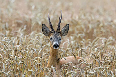 Photograph - Roebuck by Arterra Picture Library