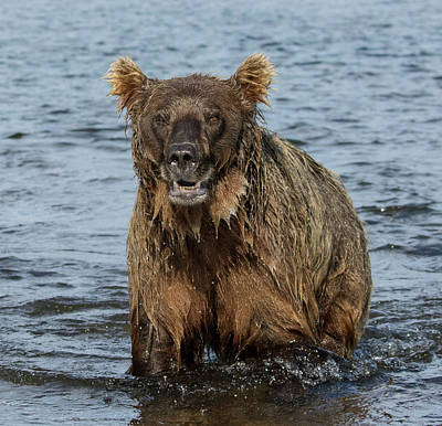 Photograph - Rogue Bear  by Cheryl Strahl