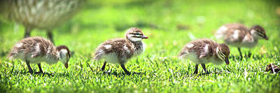 Print featuring the photograph Rogue Duckling, Yanchep National Park by Dave Catley