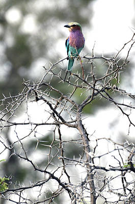 Photograph - Roller Bird On Acacia Limbs by Tom Wurl