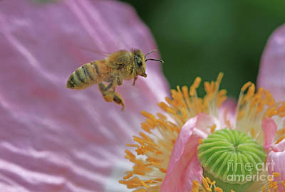 Pollinator Photograph - Rolling In The Pollen  by Gary Wing