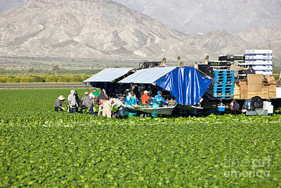 Romaine Lettuce Harvest Art Print by Inga Spence