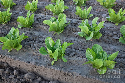 Romaine Lettuce Art Print by Inga Spence