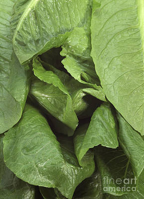 Romaine Lettuce Lactuca Sativa Art Print by Gerard Lacz