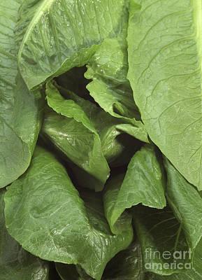 Romaine Lettuce Lactuca Sativa Print by Gerard Lacz