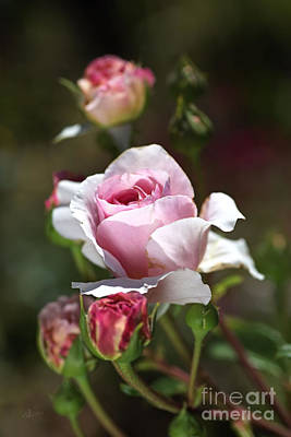 Photograph - Romance The Roses  by Joy Watson