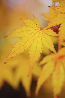 Photograph - Romance With Autumn 8. Japanese Maple Leaves by Jenny Rainbow