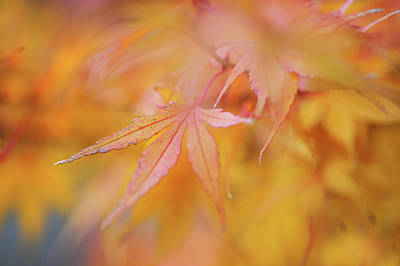 Photograph - Romance With Autumn. Japanese Maple Leaves 1 by Jenny Rainbow