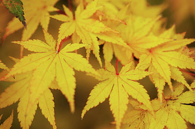 Photograph - Autumn Passion. Japanese Maple Leaves 2 by Jenny Rainbow