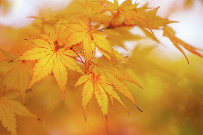 Photograph - Romance With Autumn. Japanese Maple Leaves 2 by Jenny Rainbow