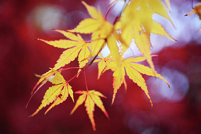 Photograph - Romance With Autumn. Japanese Maple Leaves 3 by Jenny Rainbow