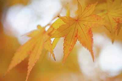 Photograph - Romance With Autumn. Japanese Maple Leaves 4 by Jenny Rainbow