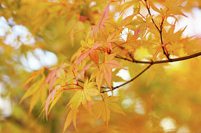 Photograph - Romance With Autumn. Japanese Maple Leaves 5 by Jenny Rainbow