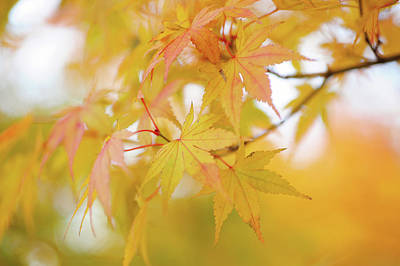 Photograph - Romance With Autumn. Japanese Maple Leaves 6 by Jenny Rainbow