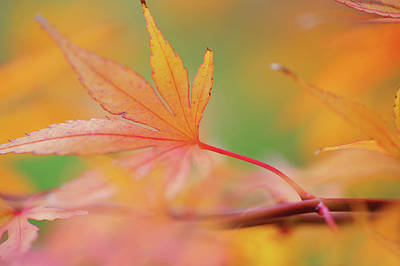Photograph - Romance With Autumn. Japanese Maple Leaves 7 by Jenny Rainbow
