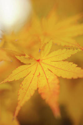 Photograph - Romance With Autumn. Japanese Maple Leaves 9 by Jenny Rainbow