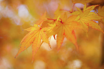 Photograph - Romance With Autumn. Japanese Maple Leaves by Jenny Rainbow