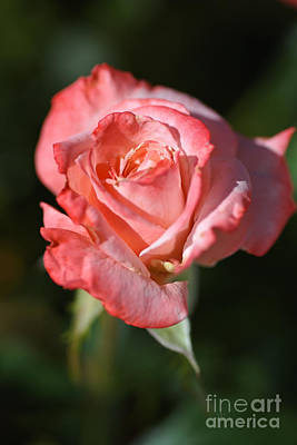 Photograph - Romancing With Rose by Joy Watson