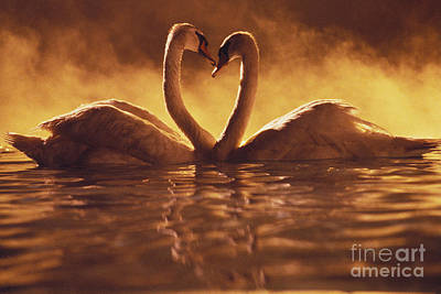 Photograph - Romantic African Swans by Brent Black - Printscapes