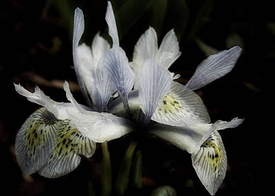 Photograph - Romantic Dwarf Iris by Richard Cummings
