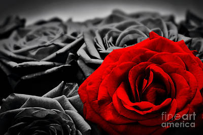 Romantic Greeting Card Of Red Rose Against Black And White Roses Print by Michal Bednarek