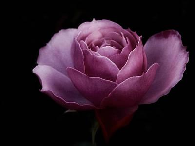 Romantic Pink December Rose Art Print