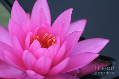 Ollivrosa Wall Art - Photograph - Romantic Pink Water Lily by Amy Sorvillo