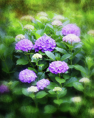 Photograph - Romantic Purple Hydrangeas by Carla Parris