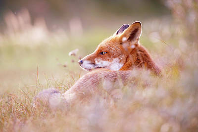 Laugh Photograph - Romantic Red Fox by Roeselien Raimond