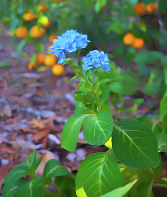 Photograph - Romantic Skies Hydrangea And Oranges by Aimee L Maher Photography and Art Visit ALMGallerydotcom