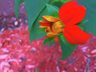 Photograph - Romantic Skies Mexican Sunflower In Mid Bloom by Aimee L Maher Photography and Art Visit ALMGallerydotcom