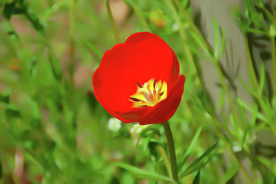 Photograph - Romantic Skies Red Tulip by Aimee L Maher Photography and Art Visit ALMGallerydotcom