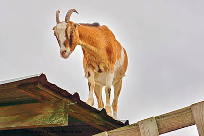 Rooftop Goat Art Print by Deb Zulawski