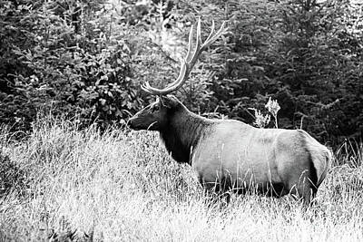 Photograph - Roosevelt Bull - Bw by Scott Pellegrin