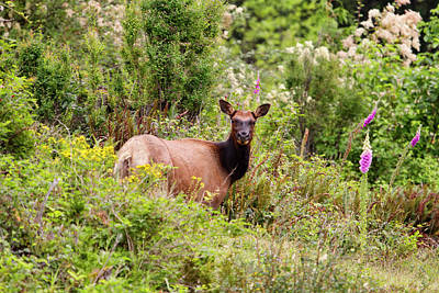 Photograph - Roosevelt Elk Cow In Spring Flowers by Peggy Collins
