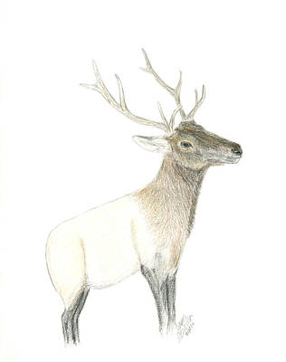 Drawing - Roosevelt Elk by Sara Stevenson