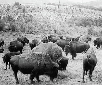 Buffalo Photograph - Roosevelt  King Of The Herd by American School
