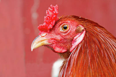 Rooster Close-up On A Reddish Background Art Print by James BO  Insogna