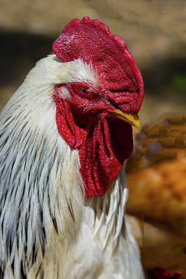 Photograph - Rooster Eye To Eye by Jeff Kurtz