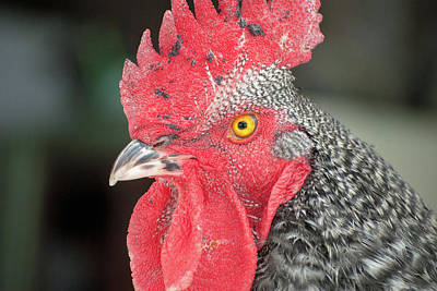 Photograph - Rooster Named Brute by Troy Stapek