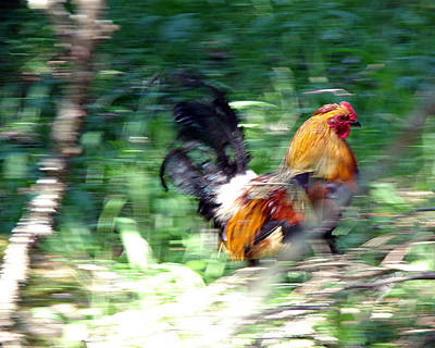 Photograph - Rooster On The Island by Diana Douglass
