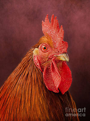 Photograph - Rooster Portrait by Linsey Williams