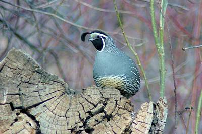 Rooster Quail  Print by Jeff Swan