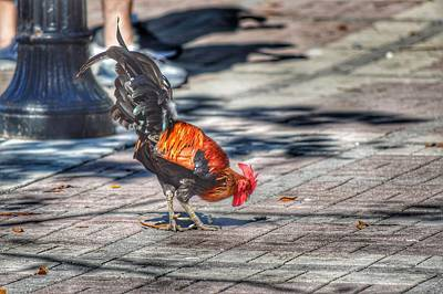 Photograph - Rooster's Shadow  by Joseph Caban