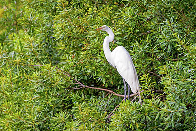 Photograph - Roosting Egret by Willie Harper