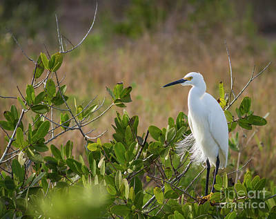 Photograph - Roosting  Heron by David Cutts